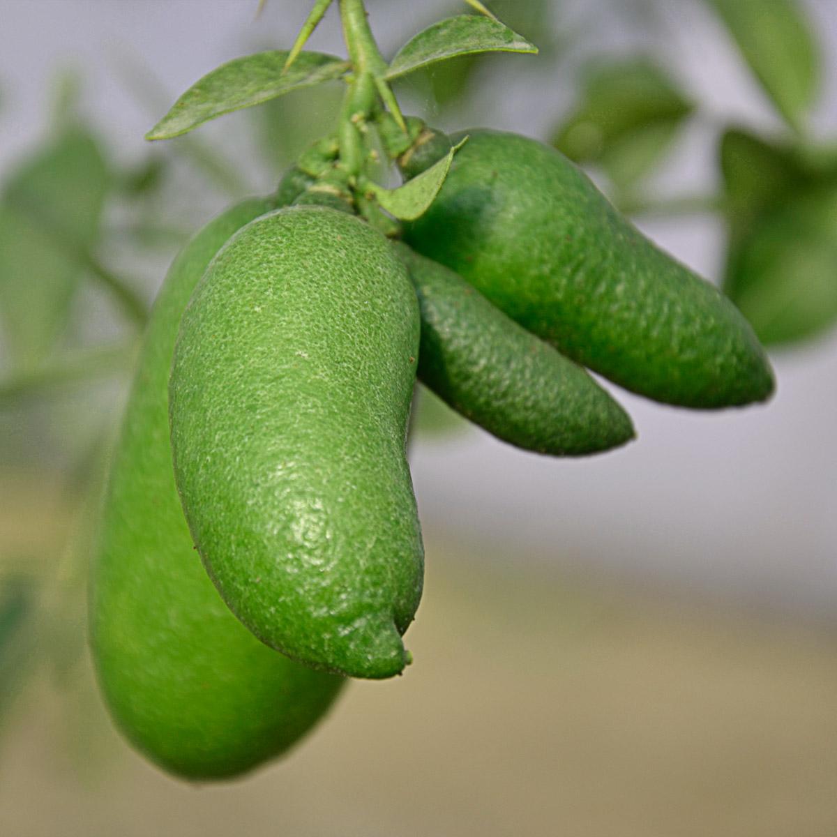 Pianta di Finger Lime con polpa bianca